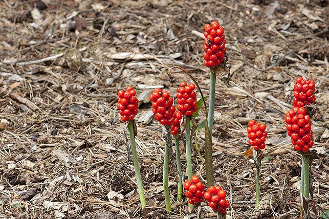 Gefährliche Giftpflanze für Kinder im Garten: Aronstab
