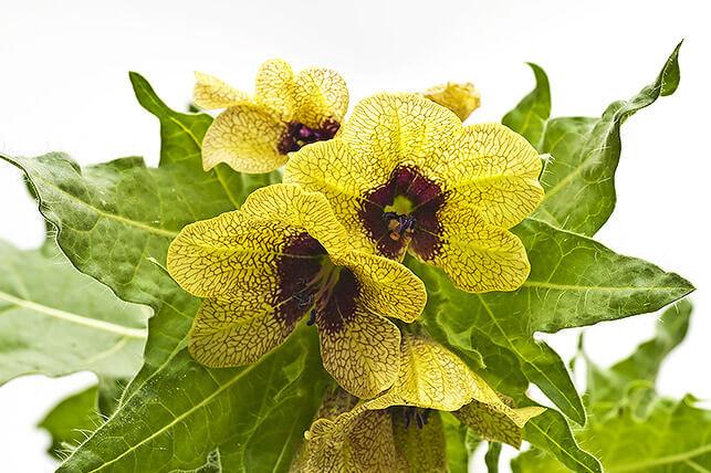 Gefährliche Giftpflanze für Kinder im Garten: Bilsenkraut