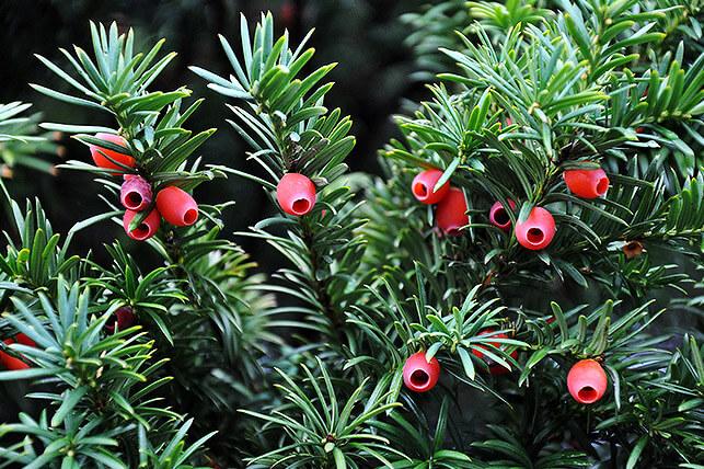 Gefährliche Giftpflanze für Kinder im Garten: Eibe