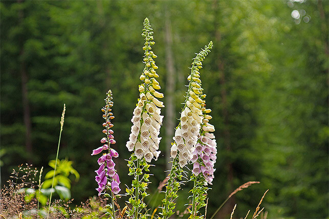 Gefährliche Giftpflanze für Kinder im Garten: Fingerhut