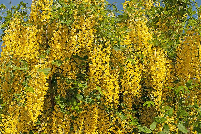 Gefährliche Giftpflanze für Kinder im Garten: Goldregen