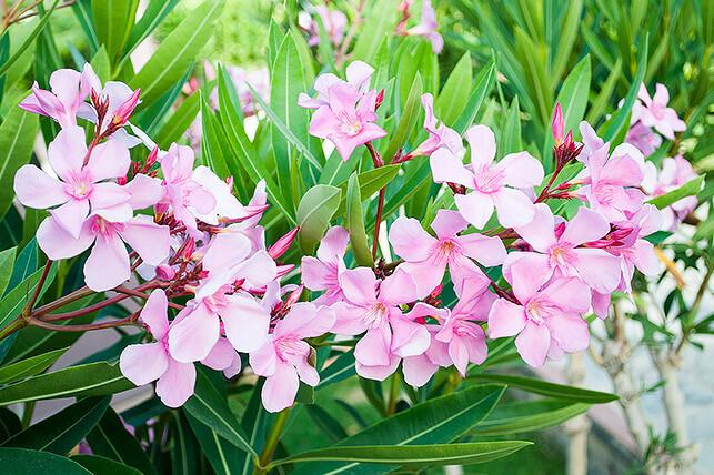 Gefährliche Giftpflanze für Kinder im Garten: Oleander