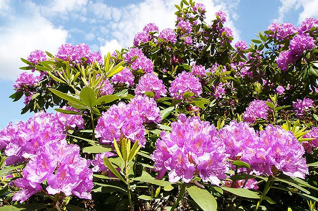 Gefährliche Giftpflanze für Kinder im Garten: Rhododendron