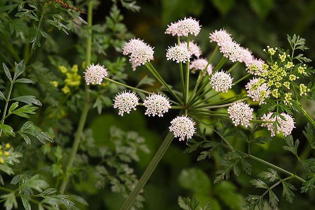 Gefährliche Giftpflanze für Kinder im Garten: Gefleckter Schierling