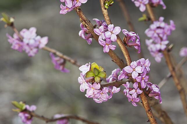 Gefährliche Giftpflanze für Kinder im Garten: Seidelbast