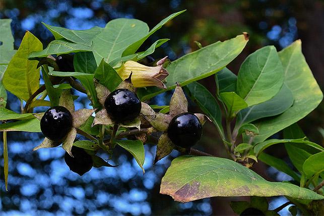 Gefährliche Giftpflanze für Kinder im Garten: Tollkirsche